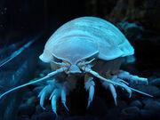 Deep sea giant isopod
