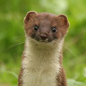 File:Weasel.jpg