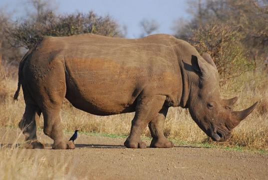 File:2 Rhino.jpg