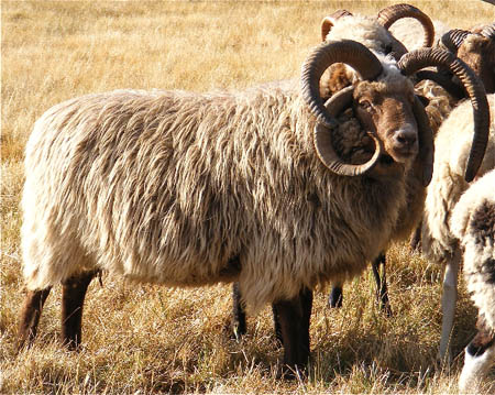 File:2 Churra Sheep.jpg