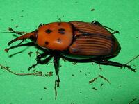 Rhynchophorus ferrugineus adult