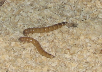File:Giant Mealworms.jpg