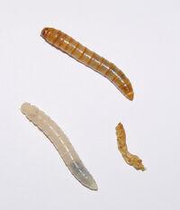 Tenebrio molitor larvae