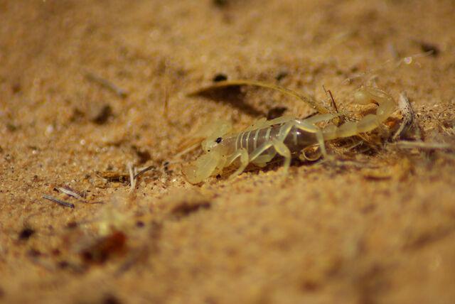 File:Dune scorpion at Kelso dunes.jpg