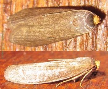 File:Achroia grisella adult.jpg