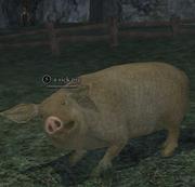 A sick pig