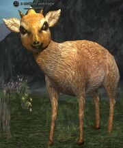 Mature antelope