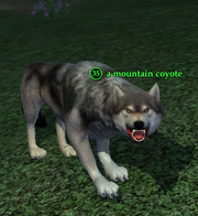 A mountain coyote