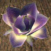 Faeflower blossom (Visible)