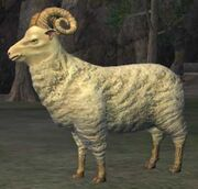 Race sheep