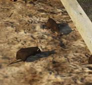 Foto de ratas (1)