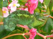 Jackson's Chameleon 2.jpg