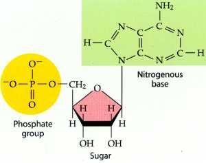 Nucleotide2