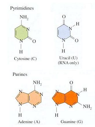 File:RNA bases.png