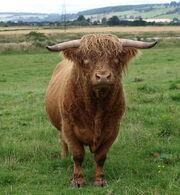 554px-Highland Cattle bull