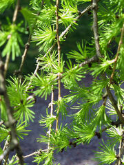 New tamarack needles