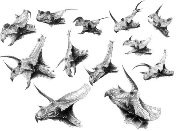 File:Ceratopsids - 1(Heads (Jaime Headden)).jpg