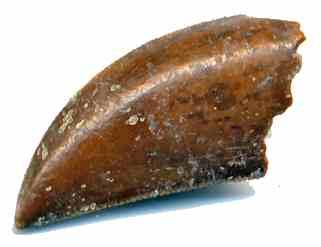 File:Majungasaurus - 6(Tooth).jpg