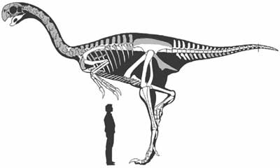 File:Gigantoraptor - 2(Skeletal).jpg