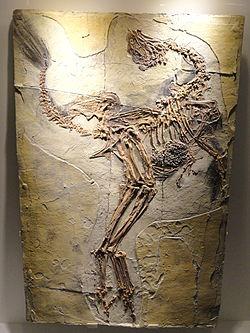 File:Caudipteryx - 3(C. zoui specimen).JPG