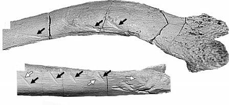 File:Majungasaurus - 11(Bite marks).jpg
