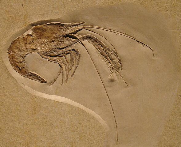 File:Aeger elegans fossil.jpg