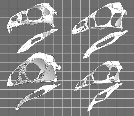 File:Oviraptorosauria - 1(Basal skulls).jpg