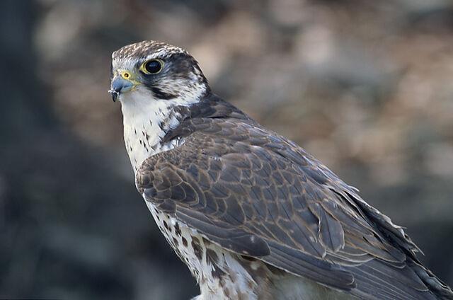 File:Falco cherrug (Marek Szczepanek).jpg