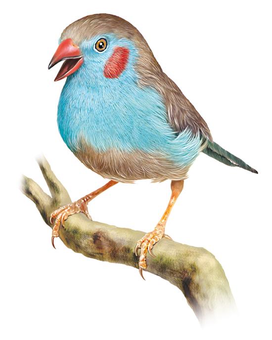 Magie des oiseaux wiki fairy tail fanon fandom powered for Oiseau couleur