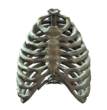 File:Rib cage.png