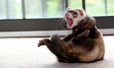 File:Crazy ferret.jpg