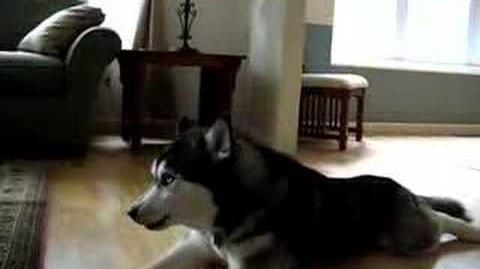 Husky Dogs Singing Gwen Stefani