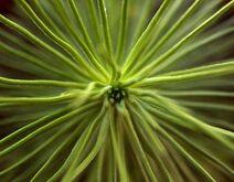 Seekiefer (Pinus halepensis) 9months-fromtop