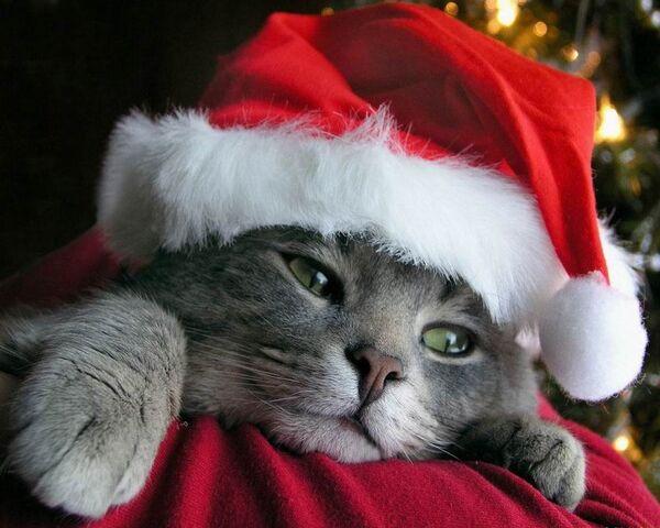 File:Christmas Cat.jpg