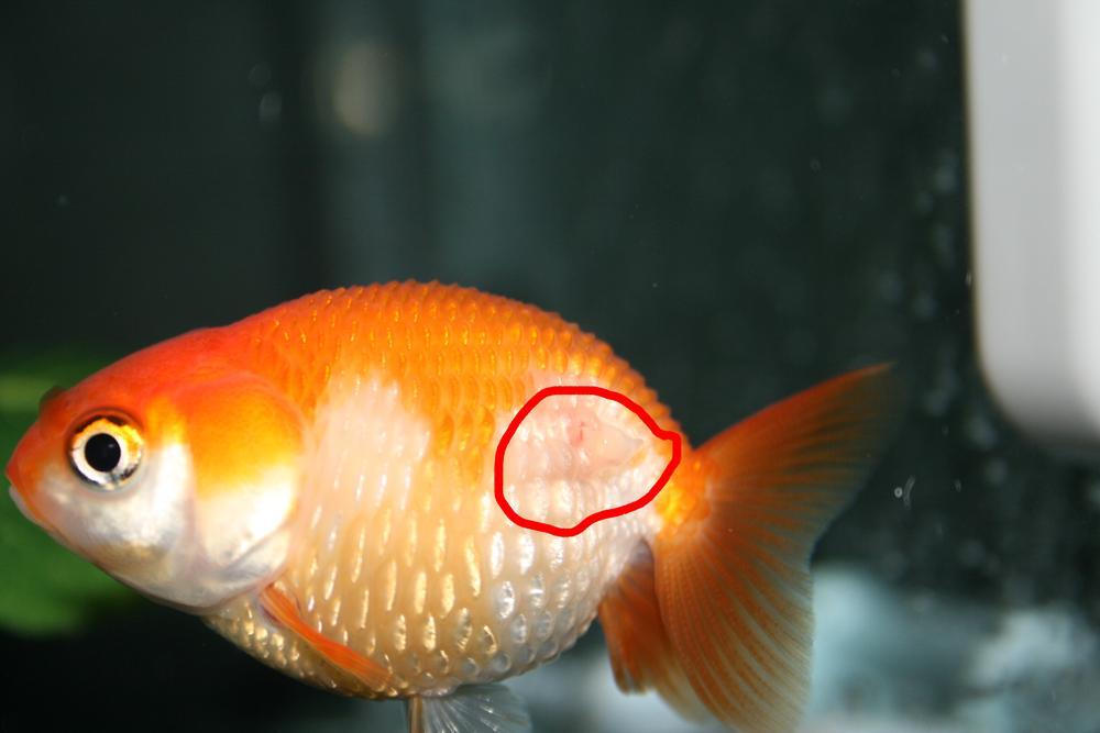 Dropsy fancy goldfish wikia fandom powered by wikia for Fish diseases pictures
