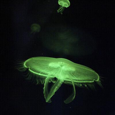 Jellyfish 7