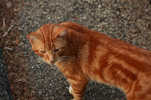 File:Red cat.jpg