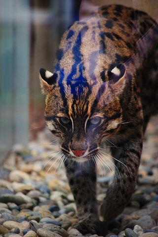 File:More Fishing Cat.jpg