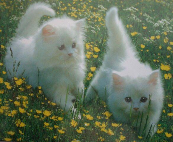 File:Two-white-kittens.jpg