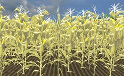 Corn ripe