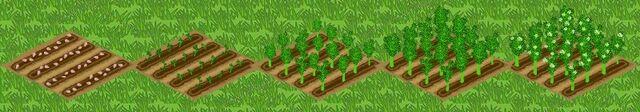 File:Broccoli Growth.jpg