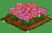Pink Rose extra100