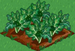 Broccoli 66