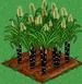 Sugar Cane 100