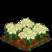 White Poinsettia extra100