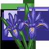 Iris-icon