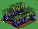 Eggplant extra100