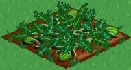 Plik:Watermelon 66.png
