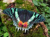 Uraniidae sunset moth chrysiridia croesus