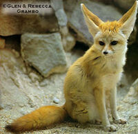 Fennec picture